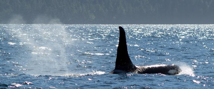 Port Hardy Orcas